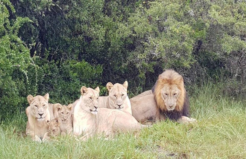 Lions-eat-poachers