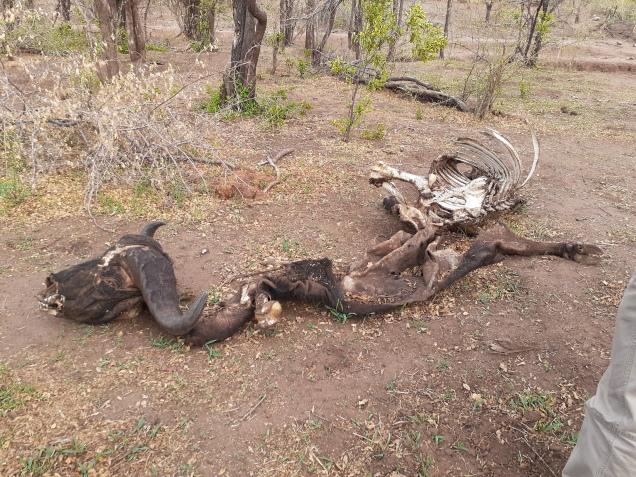 Buffalo Carcass