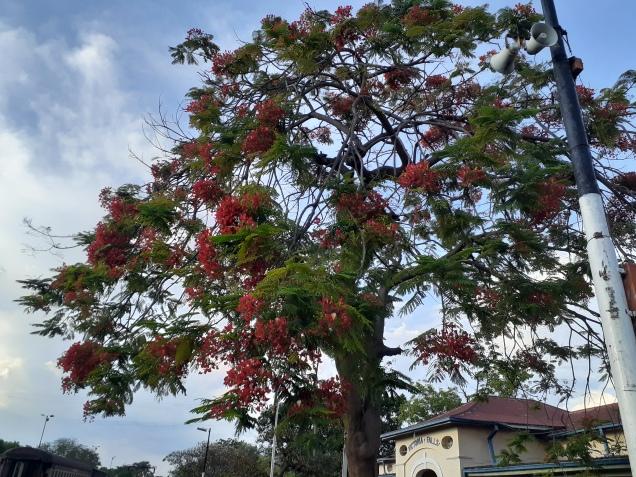 Flaming Jacaranda 1