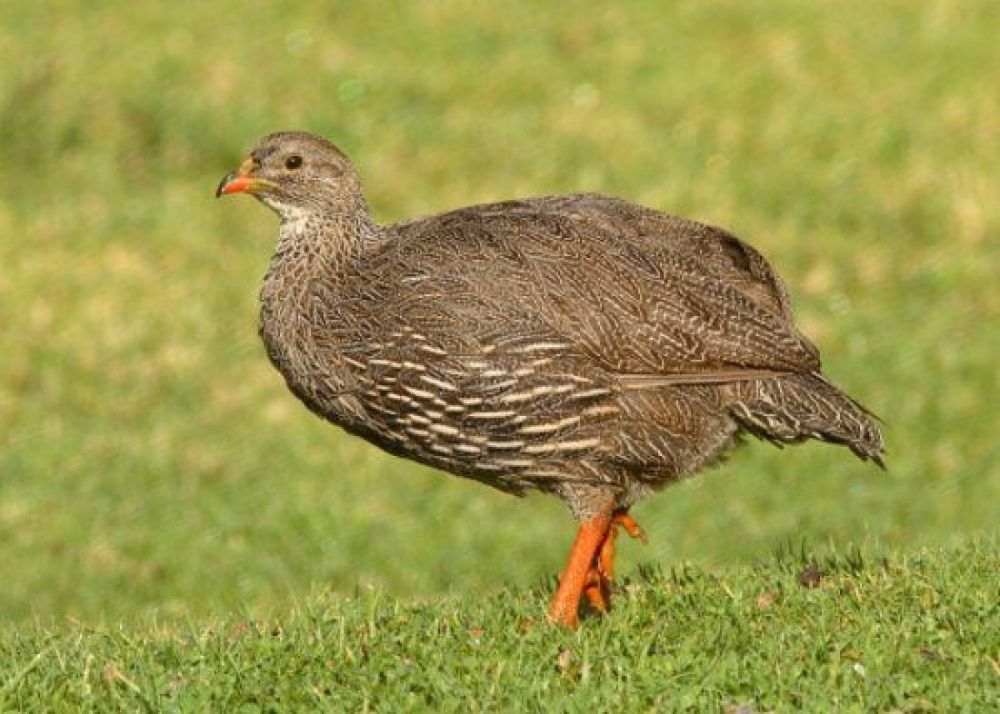 hunting_cape_francolin